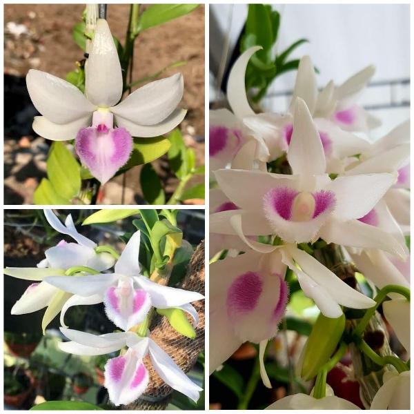 ĐÃ MẮT DÒNG LAN 5 CÁNH TRẮNG HIỂN OANH - Chuỗi Hoa To, Bông Đều Nhau, Màu Sắc Cực Đẹp