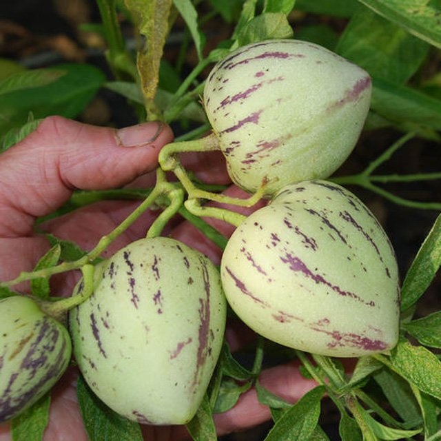 Cây Dưa Pepino Có Hoa - Trái