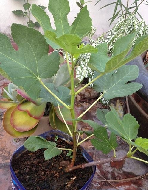 Cây Giống Sung Đường - Sung Mỹ  ( cây nhỏ cao 30 cm gốc bằng ngon chân)