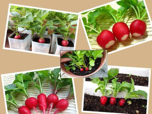 Hạt giống củ cải đỏ mini ( Củ cải đỏ tí hon)