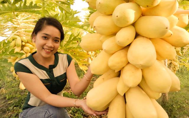 Bộ Hạt Giống Đu Đủ Vàng (1 gói hạt giống + 3 viên nén + 1 thuốc trừ bệnh)