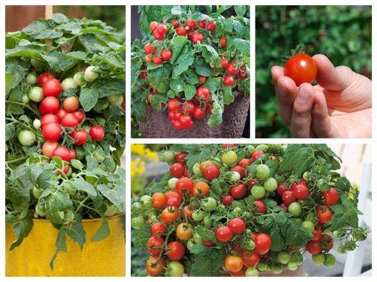 Hạt giống cà chua bi đỏ tròn lùn