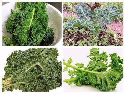 Hạt Giống Cải Xoăn Khổng Lồ Kale Cao 2m