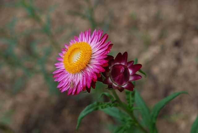 Hạt giống Hoa Cúc Bất tử mix màu