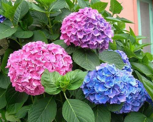 Hạt Giống Hoa Cẩm Tú Cầu Mix Màu