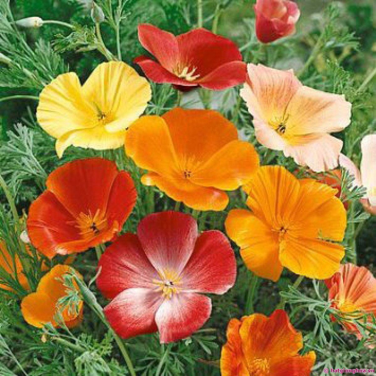 Hạt Giống Hoa Poppy Kép Vàng