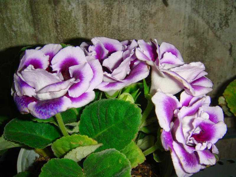 Hạt giống Hoa Tử La Lan Nhiều Màu