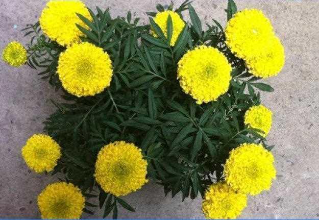 Hạt Giống Hoa Vạn Thọ Lùn - Vàng Chanh TN F1