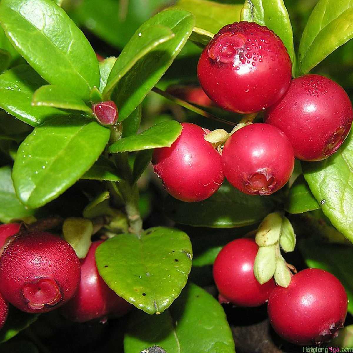 Hạt giống Việt quất đỏ và tím