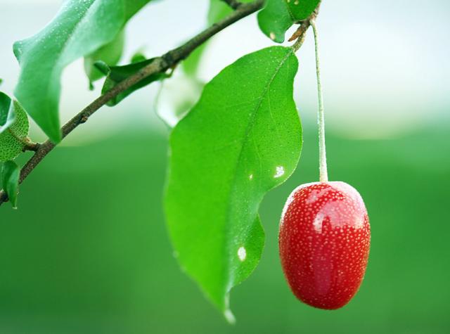 Bộ Hạt Giống Quả Nhót Mỹ - Nhót Ngọt (Goumi Berries)